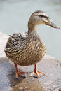 Duck female Stock Images