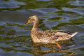 Duck a female anas platyrhynchos Royalty Free Stock Image