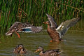 Duck fight.