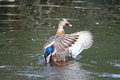 Duck Flapping Wings Stock Photo