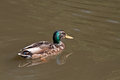 Duck floating in the water lonely wild on calm Stock Image