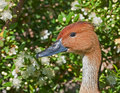 Duck with flowers Stock Photography