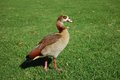 Duck on grass egyptian goose a walking green Royalty Free Stock Images
