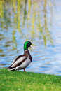Duck On The Grass