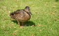 Duck On The Green Grass
