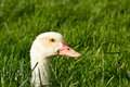 Duck head poking out of grass Stock Photos