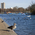 Duck in hyde park a sitting by the serpentine london Stock Photos