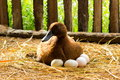 Duck incubator her eggs on the straw nest. Royalty Free Stock Photo