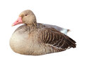 Duck isolated on a white Royalty Free Stock Photo