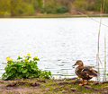 Duck by the lake female mallard standing next to wild flowers Royalty Free Stock Image