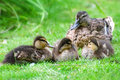 Duck and little ducklings Stock Photography