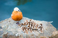 Duck with little ducklings nesting on a stone large Royalty Free Stock Photos