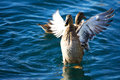 Duck mallard in the sea spreads its winds Royalty Free Stock Photos