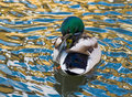 Duck mallard in the water Royalty Free Stock Image