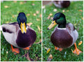 Duck montage Stock Images