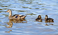 Duck mother with chicks Royalty Free Stock Photo