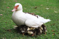 Duck mother hides ducklings under the aegis musky with small farm poultry farming Stock Photography