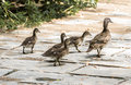 A duck mother take her babies walk in outside Royalty Free Stock Images