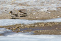 Duck pair in frozen water Royalty Free Stock Photo