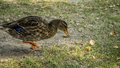 Duck in the Park Royalty Free Stock Photo