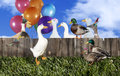 Duck Party Royalty Free Stock Photo