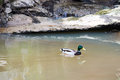 Duck in the pond beautiful floating canal with brown water and is reflected mirror Royalty Free Stock Photo