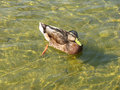Duck in the pond on a sunny day Stock Photography
