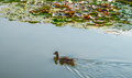 Duck in pond a swimming Stock Photography