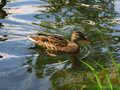 Duck in the pond a swims Stock Image