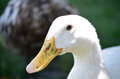 Duck portrait close up of white Stock Photography