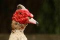 Duck portrait Royalty Free Stock Photo