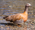 Duck a posing on a lake Royalty Free Stock Images