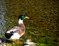 Duck in ravine a beautiful enjoying herslf Stock Photo