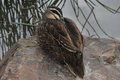 Duck on a rock anatidae sleep rest nature natural bird fowl feathers water food wild animal peace peaceful time timeless texture Stock Photos