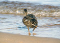 The duck running to water Royalty Free Stock Photography
