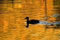 Kachna silueta na zlatý rybník
