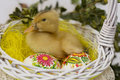 Duck sitting in easter basket yellow with painted eggs Stock Photo