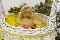 Duck sitting in easter basket yellow with painted eggs Royalty Free Stock Image