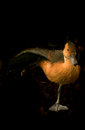 Duck standing on one leg brown balancing isolated against dark background Royalty Free Stock Photo