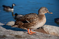 Duck stretching a female mallard her wings by a blue lake Stock Images
