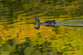 Duck swiming on the lake in summertime on a lake with vibrant refelxions Royalty Free Stock Photos