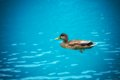 Duck swimming in a blue lake Stock Image