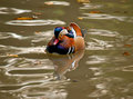 Duck swimming on the lake Image libre de droits