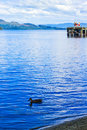 Duck swimming in the Loch Lomond lake in Luss, Scotland, UK Royalty Free Stock Photo