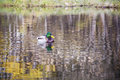 Duck swimming on the surface of the water male Royalty Free Stock Photos