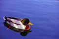 Duck swimming a swims in the river with blue sky reflection Stock Photo