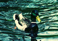 Duck the swimming in water Stock Photos
