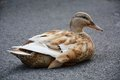Duck taking a rest beautiful big on the asphfalt pavement close up treviso italy Stock Image