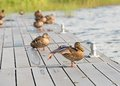 Duck training mallard stretching its wing and orange webbed foot on a wooden platform Royalty Free Stock Photos