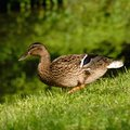 Duck a is walking on the grass in a park Stock Images